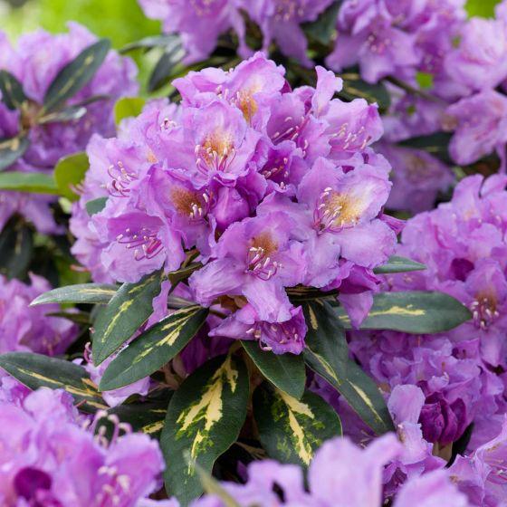 Rhododendron 'Goldflimmer' • C5 L • 30/40 cm