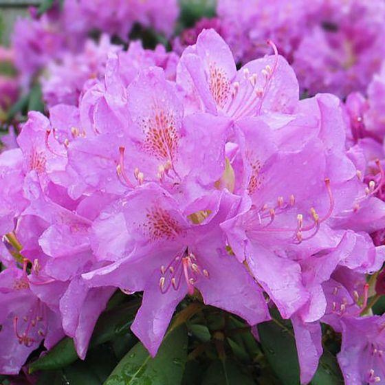Rhododendron 'Roseum Elegans' • C4 L • 30/40 cm