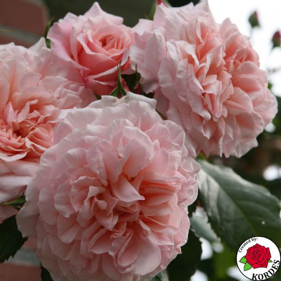 Rose de Tolbiak (Rose der Tolbiac ®)