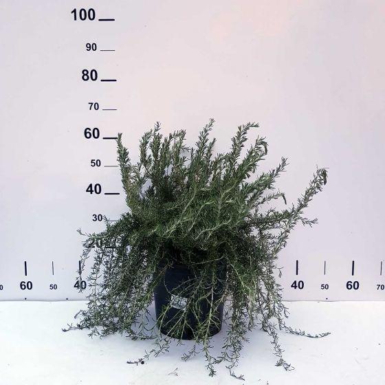 Rosmarinus officinalis 'Prostratus'  • C2 L • 10/20 cm