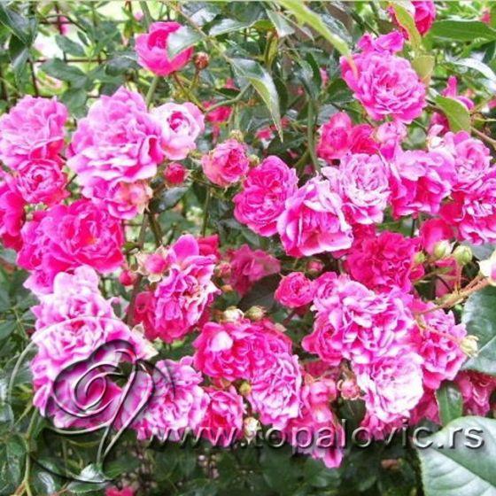 Stablašica Pink Feri (Pink Fairy ®)