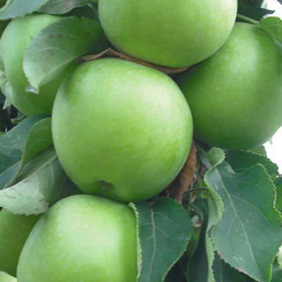 Stubasta jabuka 'Zeleni Dragulj'