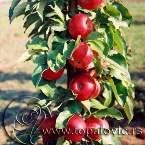 Stubasta jabuka 'Kraljica Čardaša'