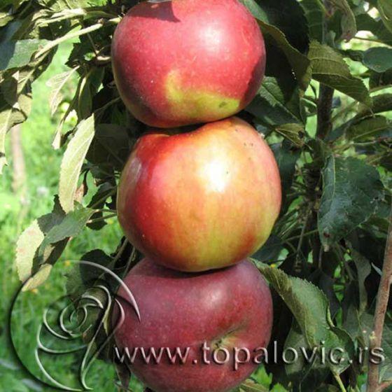 Stubasta jabuka 'Vesna'