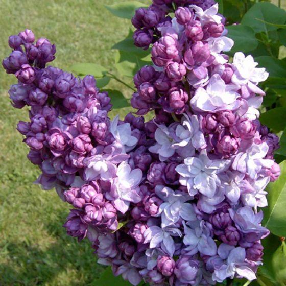 Syringa vulgaris 'Taras Bulba' • P17 • 40/60 cm