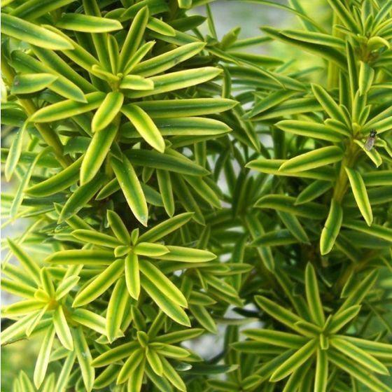 Taxus baccata 'David' • C10 L • 70/80 cm