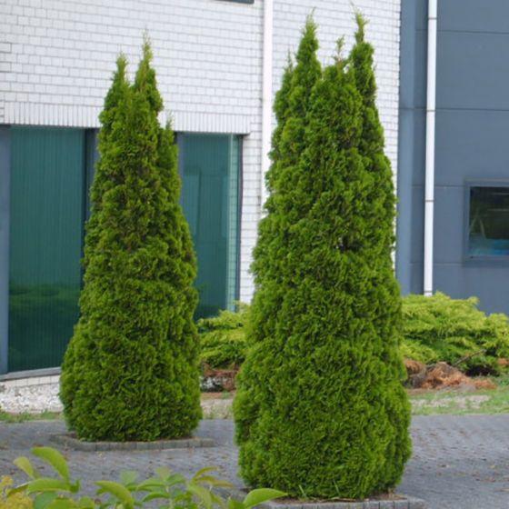 Thuja occ. Smaragd • Busen • 140/160 cm