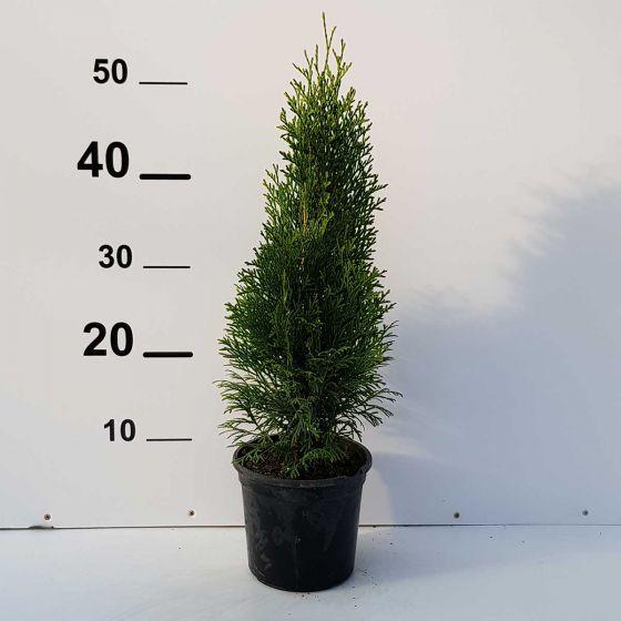 Thuja occ. Smaragd • P15 • 20/40 cm