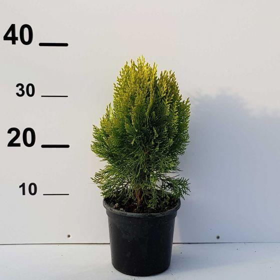 Thuja orientalis 'Aurea Nana' • P15 • 20/30 cm