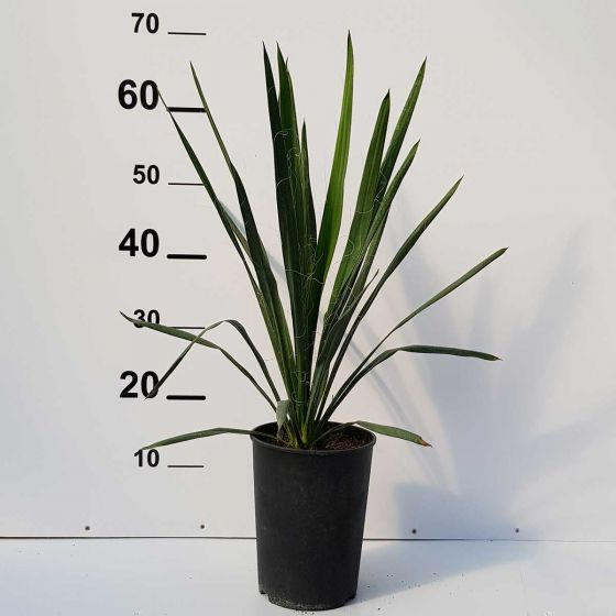 Yucca filamentosa • C 2L • 20/40 cm