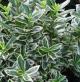 Euonymus micro. 'Albovariegatus' • C2L • 20/40 cm