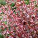Berberis thunbergii 'Harlequin' • P15 • 30/40 cm