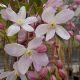 Clematis arm. 'Apple Blossom' • C2 L • 70 cm