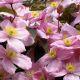 Clematis montana 'Rubens' • P9 • 20/30 cm