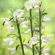 Cytisus 'White Lion' • P 15 • 30/40 cm
