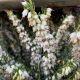 Erica carnea - Bela • P10 • 10/20 cm
