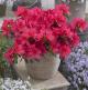 Rhododendron (Azalea) 'Geisha Red'  •P 13 • 15/20 cm