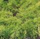 Juniperus sqa. 'Gold Star' • P15 • 10/20 cm