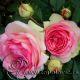 Grimpant Pjer de Ronsar (Grimpant Pierre de Ronsard ®)