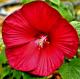 Hibiscus  'Fireball' • C3L • 30/40 cm