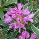 Rhododendron ponticum 'Variegatum' • C20 L • 60/70 cm