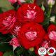 Rose de Ainhait (Rose der Einheit ®)
