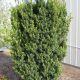 Taxus x media 'Hicksii' • P15 • 20/40 cm